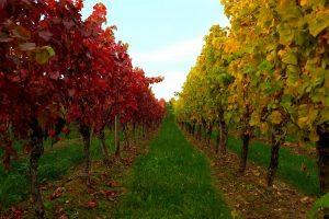 vignes-automne